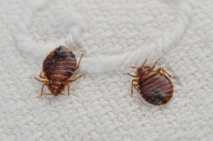 gallery-1462476548-bedbugs